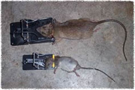 Rat Control & Removal   How to Get Rid of Rats in the House