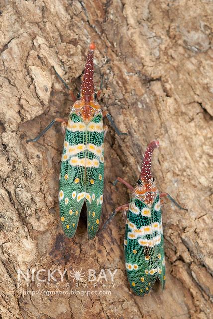 Lantern Bug (Pyrops candelaria) - DSC_3734