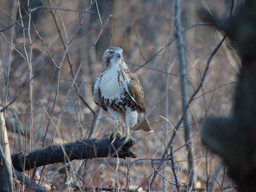 Juvenile Red-Tail at Central Park's Great Hill