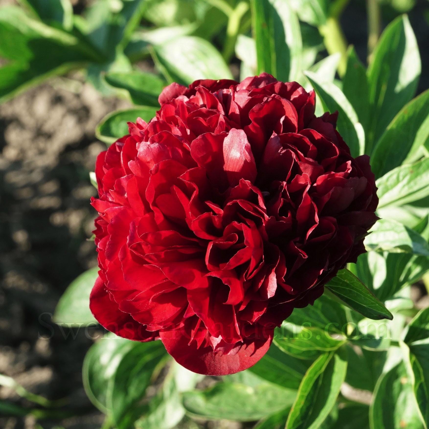 2017 PEONY FIELD DAYS UPDATE   Swenson Gardens