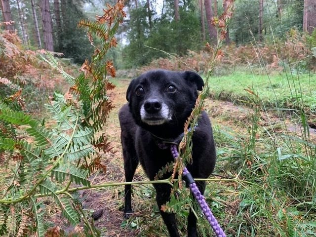 Tilly – 7-8 year old female Cross-Breed