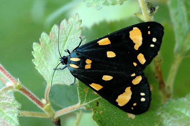File:Callimorpha.dominula.lindsey.jpg