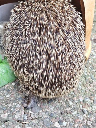 hedgehog 2012