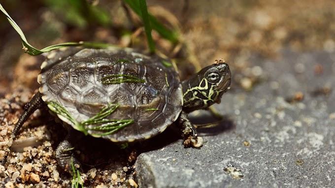Las enfermedades que más afectan a las tortugas de agua