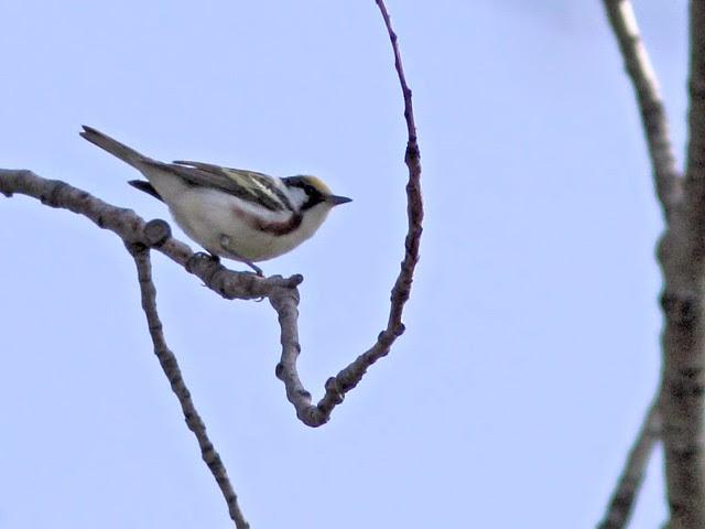 Chestnut-sided Warbler 20130507