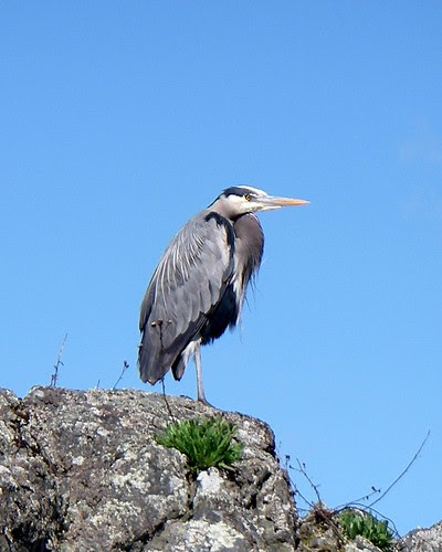 Heron on Cadboro Bay 2