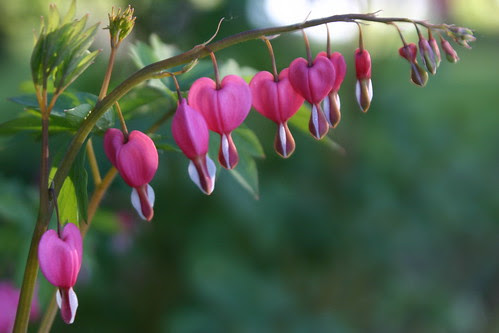 Bleeding Hearts - Long Row of Hearts