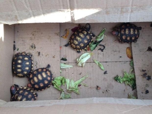 Filhotes de jabutis são encontrados com suspeito de tráfico de animais (Foto: Divulgação/Polícia Ambiental)