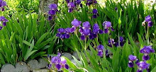 Iris again Spring 2008
