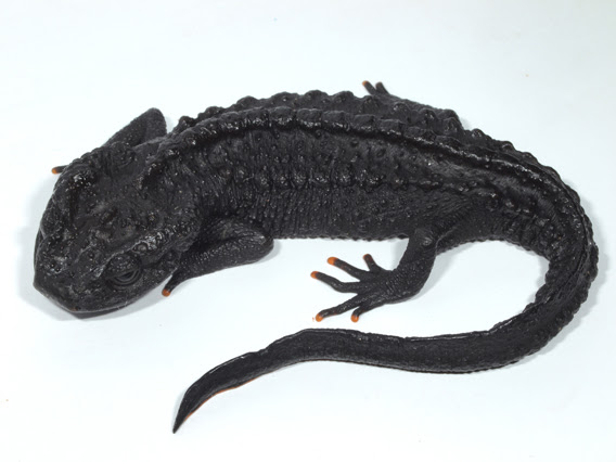 New species: Ziegler's crocodile newt (Tylototriton ziegleri). Photo courtesy of Tao Thien Nguyen.