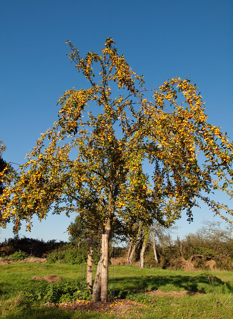 A Golden Hornet Crab Apple Tree In The Community Orchard O