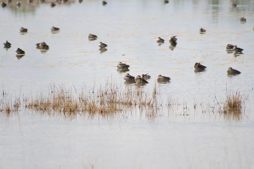 Ducks - Etosha