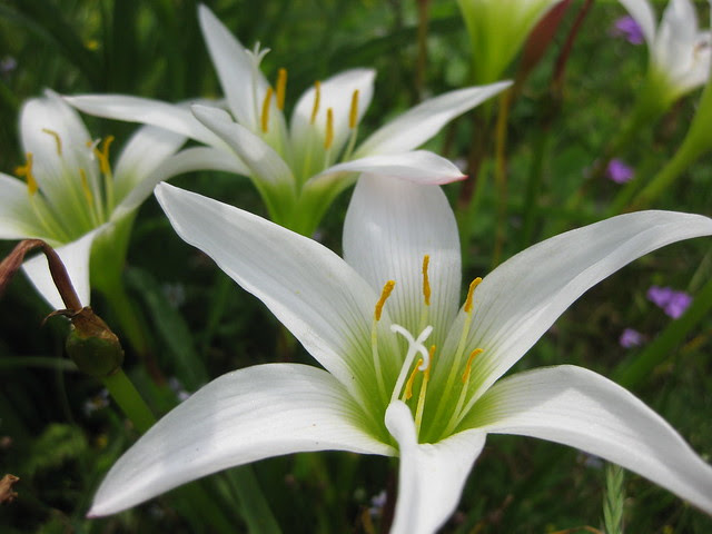 Wild Easter Lily