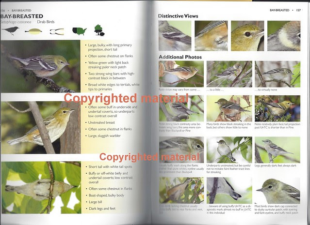 Bay-breasted Warbler Drab