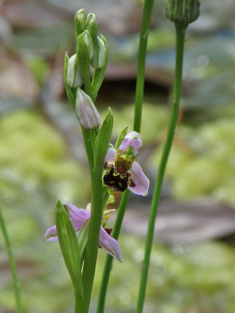 Ophrys apifera Bee Orchid