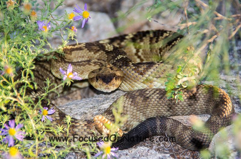 Black-tailed Rattlesnake