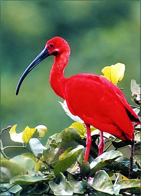 Κόκκινος Πελαργός - Scarlet Ibis