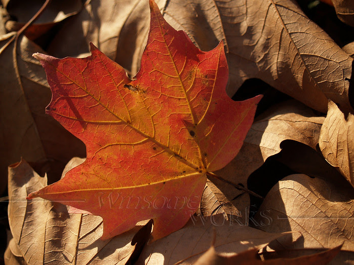 Back-lit Fall Maple Leaf in Dried Leaves