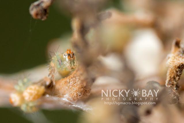 Lynx Spider (Oxyopidae) - DSC_6356