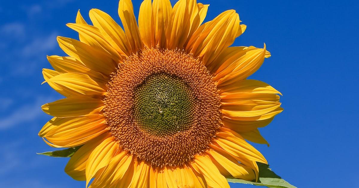 Contoh Teks Laporan Hasil Observasi Bunga Matahari Beserta Strukturnya Kumpulan Contoh Laporan