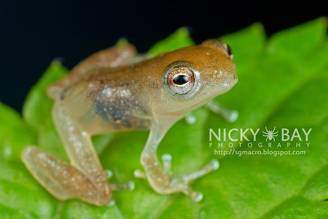 Frog (Anura) - DSC_8863