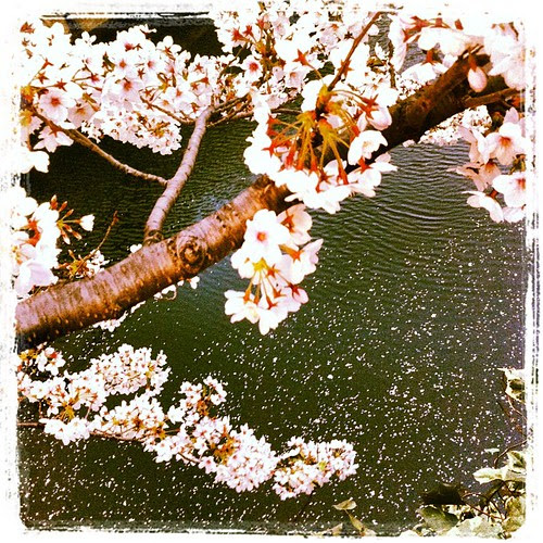 Cherry blossom petals floating soundlessly into the river.