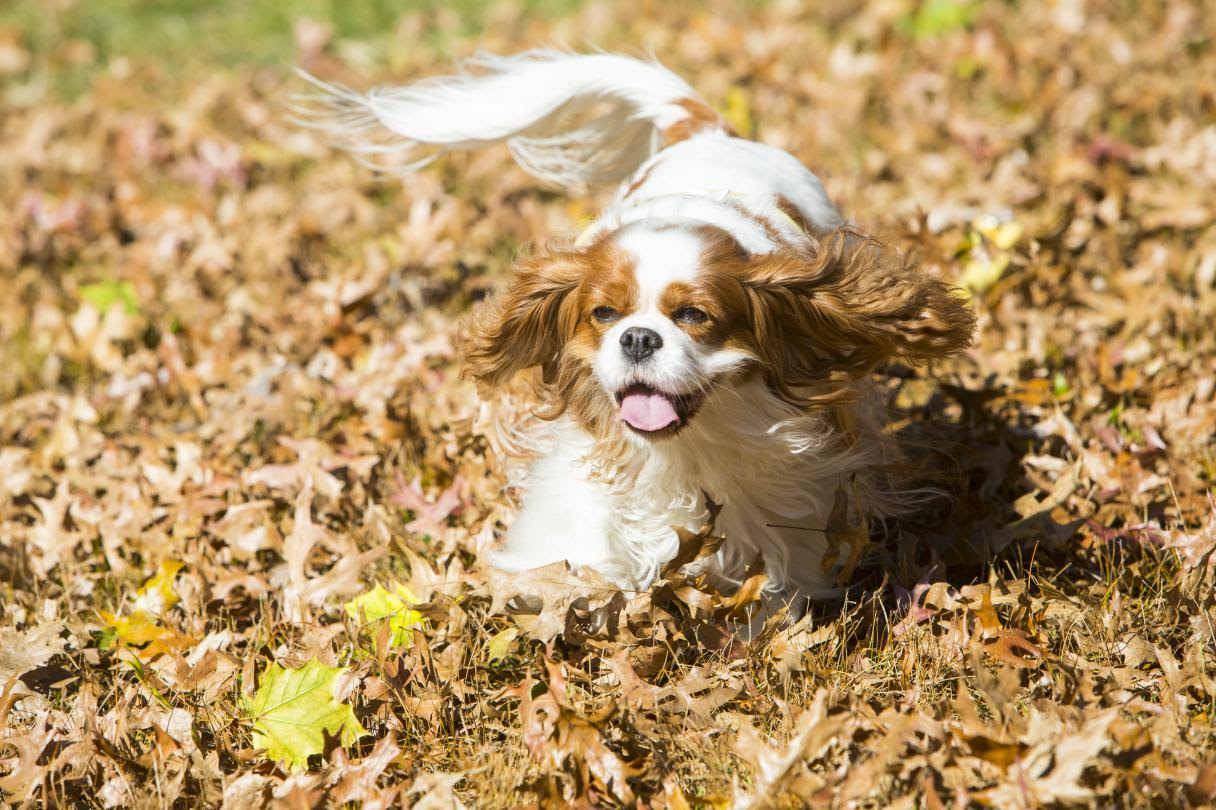 The 25 Smallest Dog Breeds  American Kennel Club