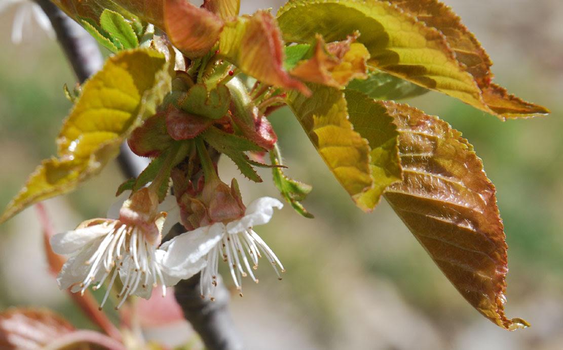 Photo de fleurs de cerisier