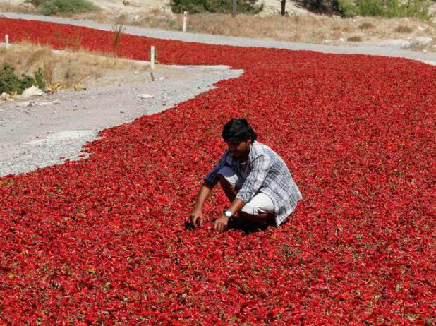 Sahin checks hot peppers laid out on a road to dry under the sun in Kilis