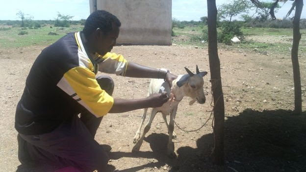 A goat is vaccinated as part of the project to help people manage resources