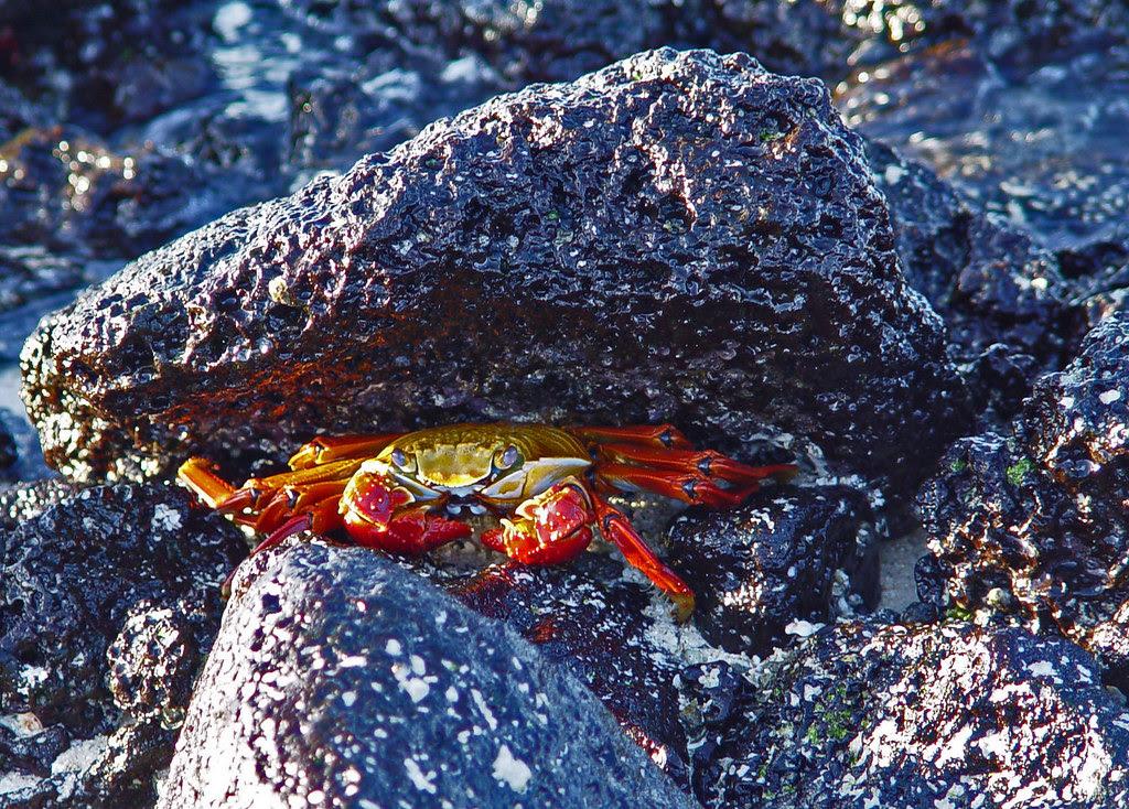 DSC00822 Galapagos Sally Lightfoot Crab
