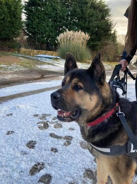 Louie – 5 year old male Akita cross Rottweiler