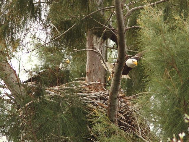 Bald Eagle female departs 0857 20121221