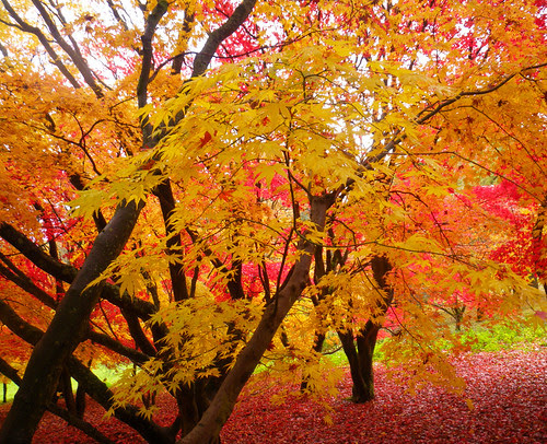 Yellow and red Japanese maples in Winkworth Arboretum
