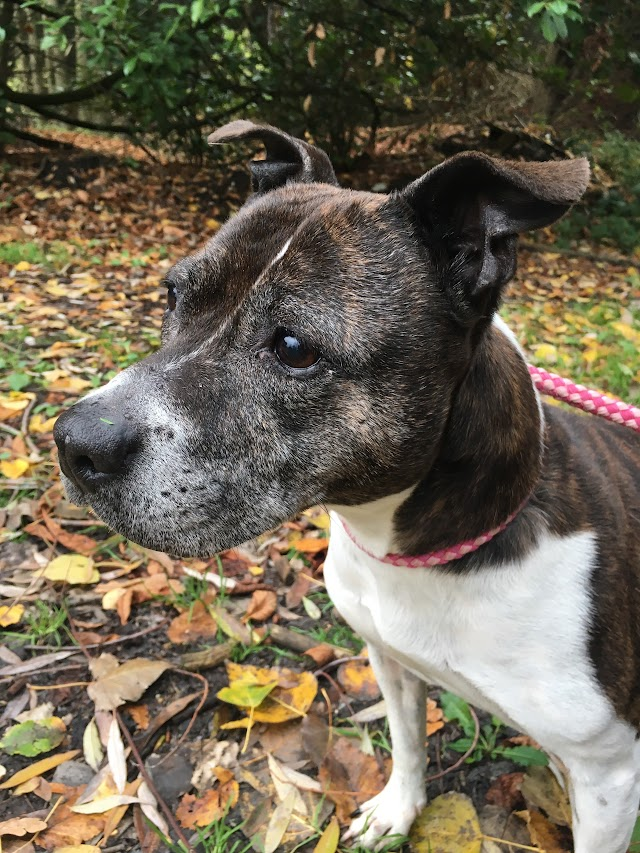 Lady – 8 year old female Staffordshire Bull Terrier