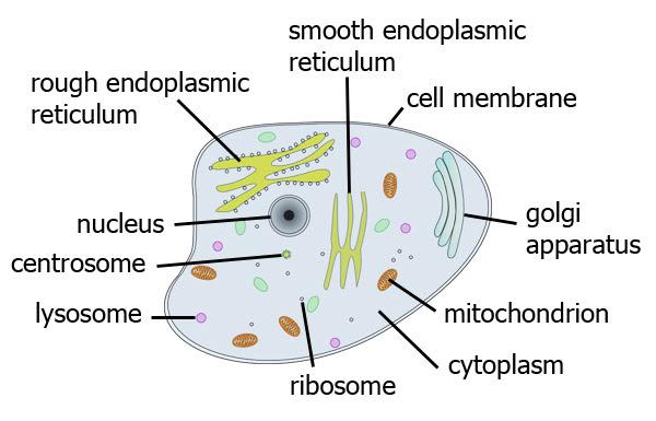 cell_diagram2