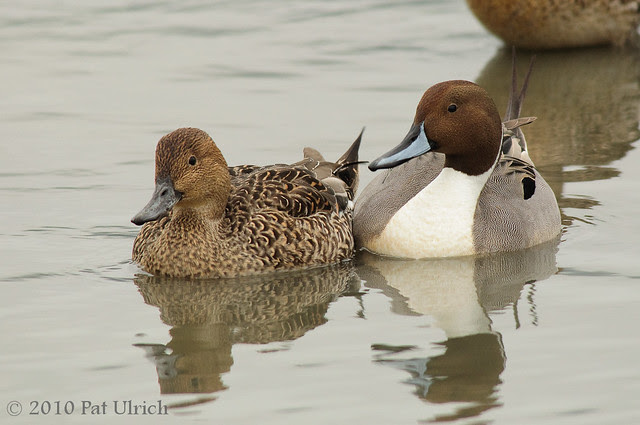 Nothern pintail couple - Pat Ulrich Wildlife Photography