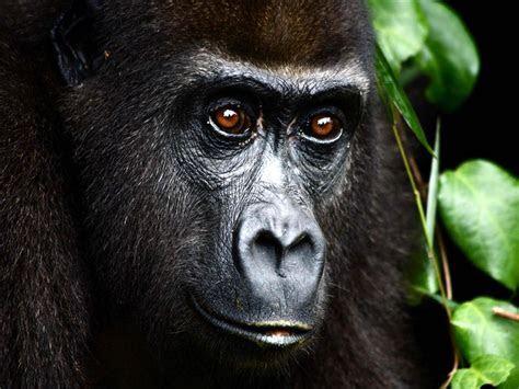 Most Endangered Species in Amazon Rainforest  Mountain Gorilla   Rainforest   Pinterest   Amazon