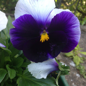 pansy2colors.jpg