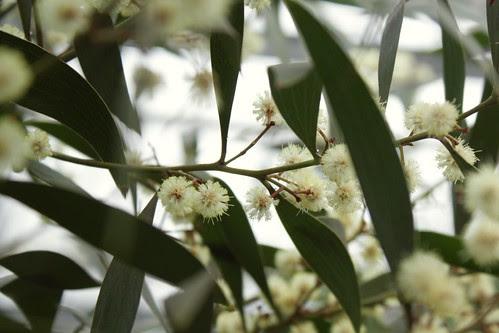 mimosa hortus botanicus