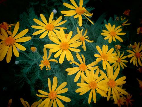 Yellow Daisy