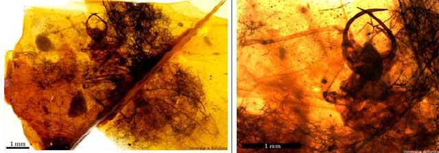 A la izquierda 'H. diogenesi' y su paquete de basura. A la derecha, detalle de la cabeza.| Universitad de Barcelona.