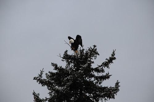 bald eagle_5633 web