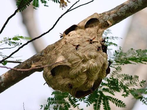 Lesser Banded Hornet nest
