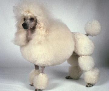 333120 As 10 raças de cães mais inteligentes 2 As 10 raças de cães mais inteligentes