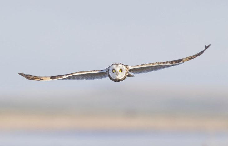 Болотная сова. Обычно гнездится в низменных влажных местах, обыкновенно по окраинам болот.