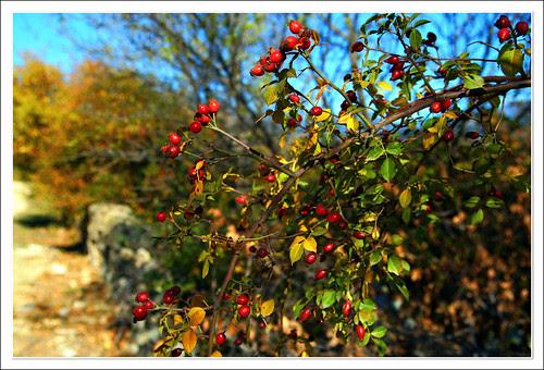 frutillos de rosal silvestre