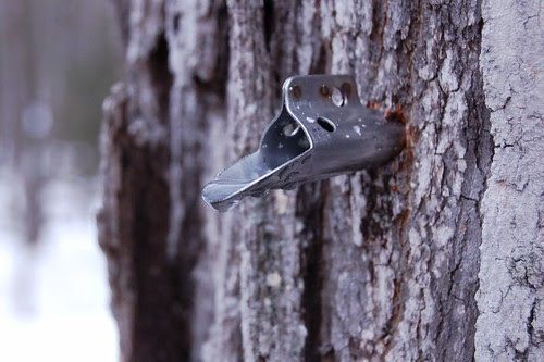 Maple sap dripping out of the stile by Eve Fox, Garden of Eating blog, copyright 2011