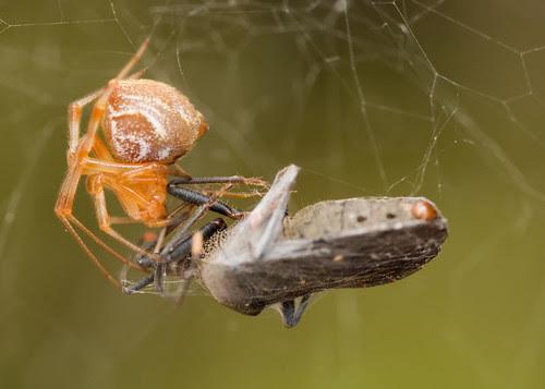 orb weaver spider with stink bug lunch DSC_3046.jpg