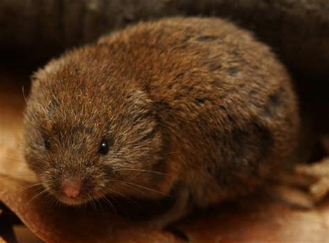 13 Lawn Removal Tips for Moles and Voles   They are Different   Minneapolis Pest and Critter
